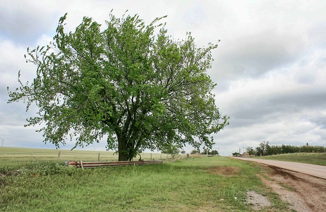 Tree 'dancing' beside Route 66 in Oklahoma, USA