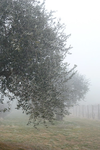olives in the fog