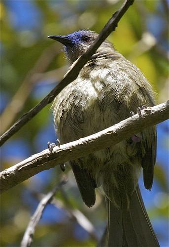 Korimako - bellbird - Anthornis melanura