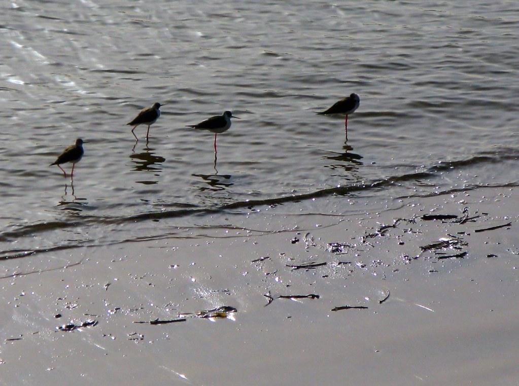 Aves marinas en la playa de la bola, junto al cruce.