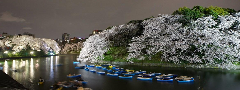 Chidorigafuchi Cheery Blossoms