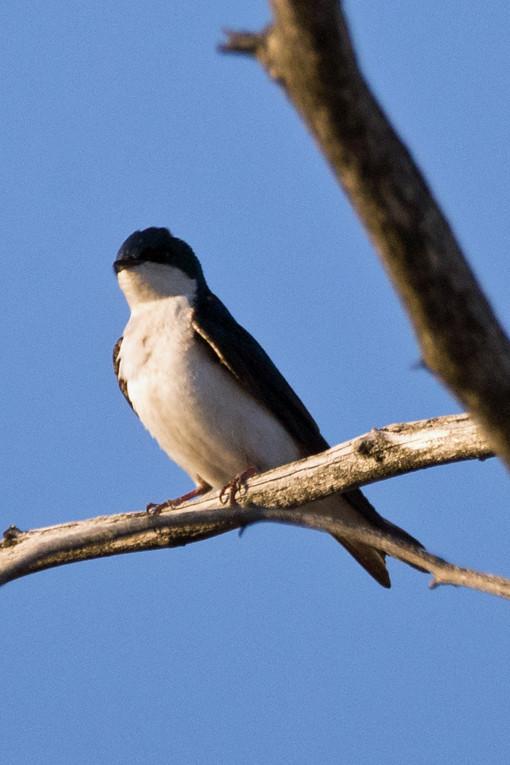 _DSC8050 Tree Swallow