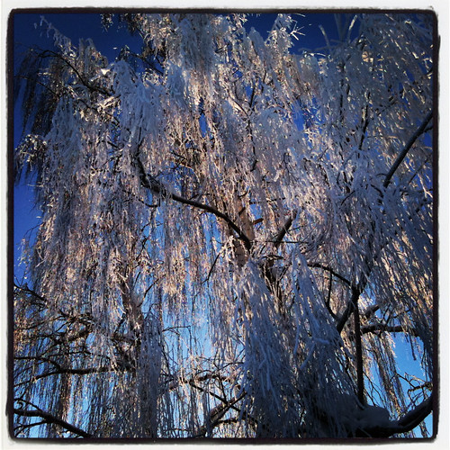 mt view weeping birch in frost
