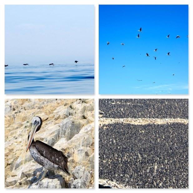 Aves Islas Ballestas