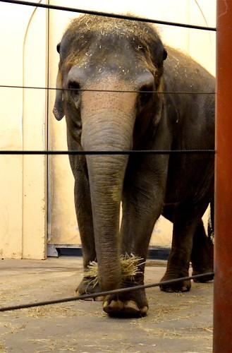 Elephant Face-On