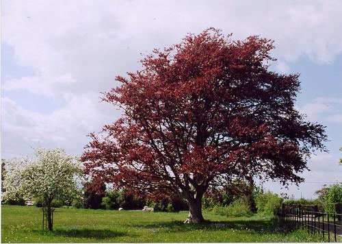Spring Trees at la Ronde