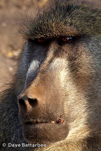 Baboon (Severe crop)