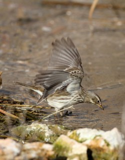 2012_01_17 LN - Water Pipit (Anthus spinoletta) 03