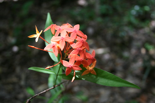 Palawan santan (Ixora palawanensis)