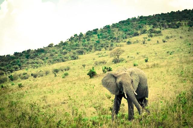 Kenyan Elephants! (1)