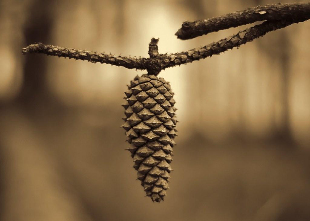 Pine Cone in Sepia