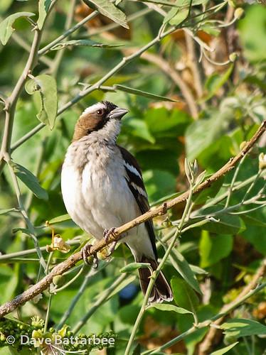 Whitebrowed Sparrow-weaver