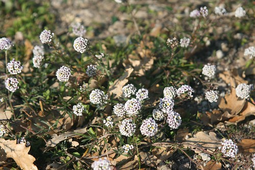 Alyssum growing on roman ruins