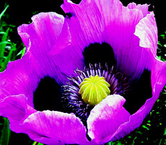 Lila Mohnblume  , purple poppy flower,    28-112