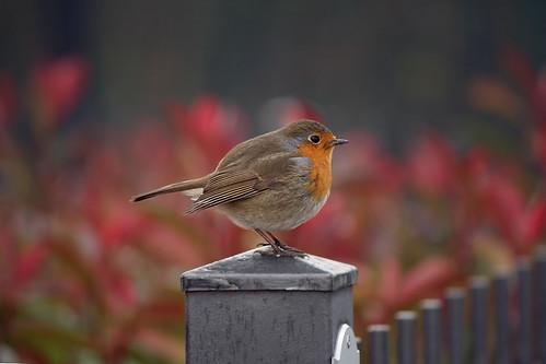 Robin (hood)
