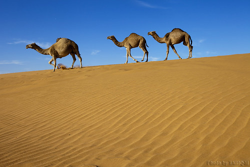 Camels by TARIQ-M