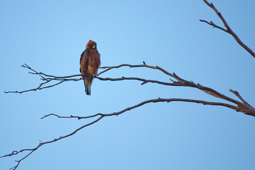"Juvenile ""Little Eagle"", 2012-01-22 (_MG_1594)"