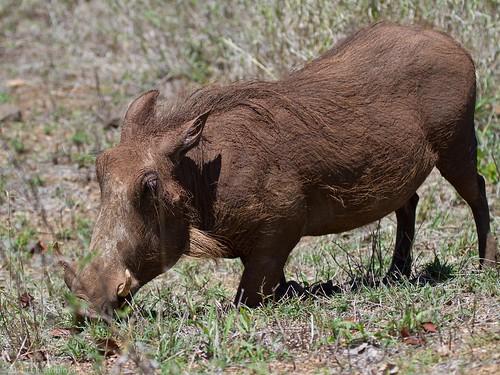 Kneeling Warthog