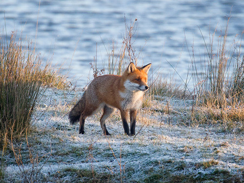 Fox-cold morning_2