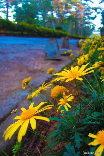 Daisies by israelv