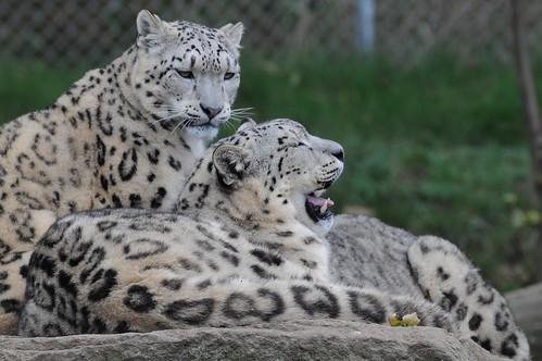 Schneeleoparden im Zoo de Trégomeur