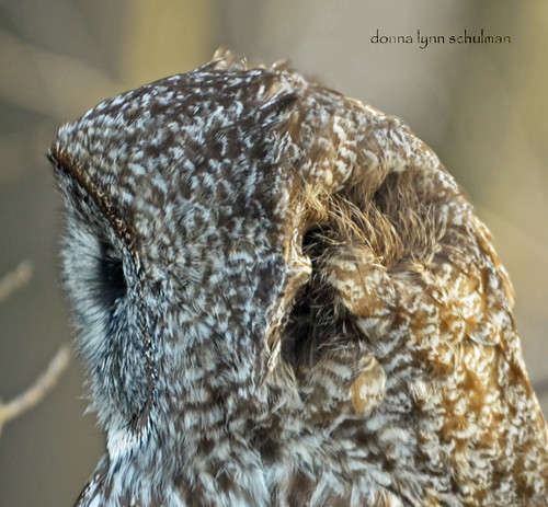 Ontario: Great Gray Owl Listening