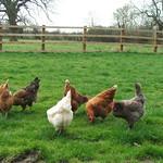 The Langar hens