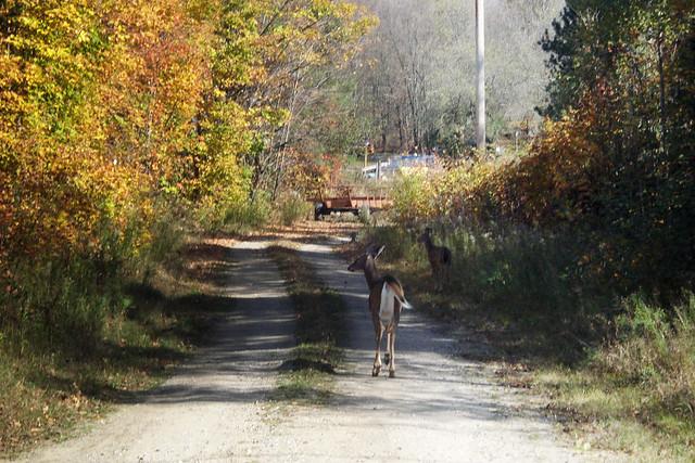 Deer on Snow Plow Road