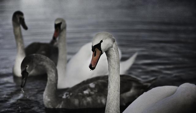 Swan, Vuohensaari