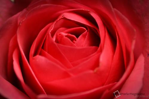 rosa by Maria Magdalena Art Photography