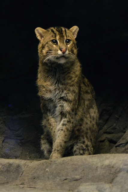 Big Handsome Fishing Cat