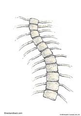 Vertebra Bones (Quiz 4) Iowa Park Anatomy and Physiology