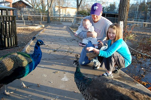 Great Bend Zoo Peacocks_DSC_0249 (1280x851)