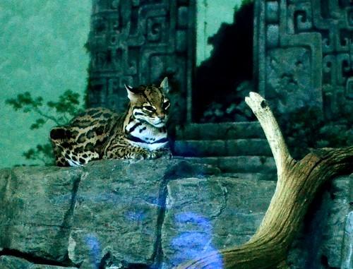 Pensive Ocelot