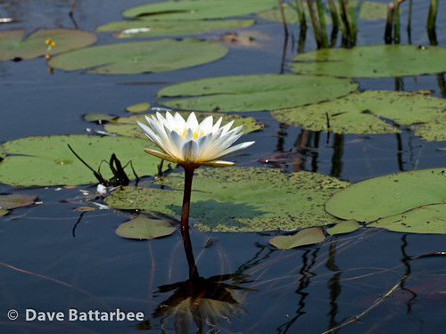 Day Waterlily