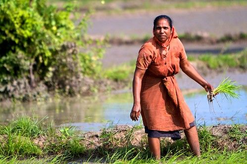 Lima's Amma in her field, planting rice saplings