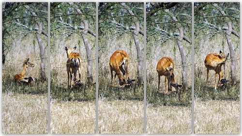 Impala giving birth