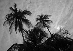 Palm Tree Silhouettes and Overcast Sky -Isla Carenero, Bocas del Toro, Panama