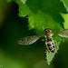 Hover fly / Mosca de las flores (Costa Rica)