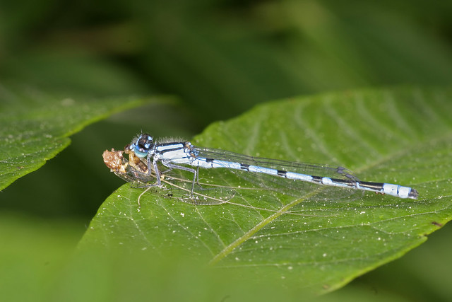 Damsel eating