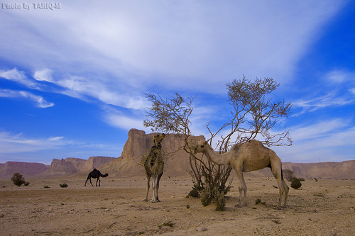 Camels Food by TARIQ-M