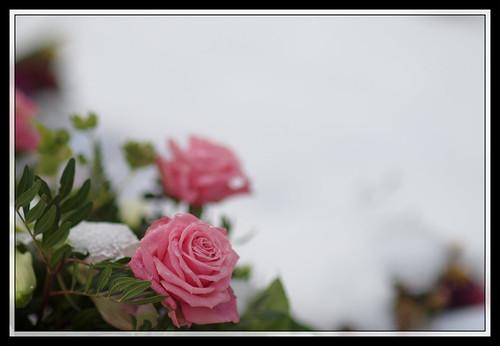 23/366 - Winter Rose by Flubie