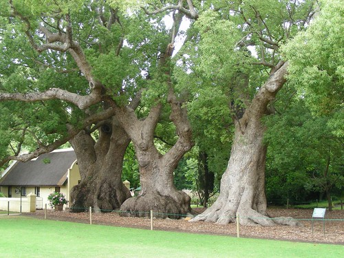 300 year old camphor trees
