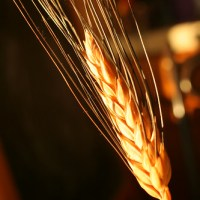 Gift of finest wheat?