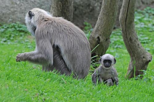 Hanuman-Languren im Zoo de Trégomeur
