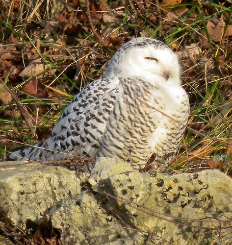 NJ: Snowy Owl Takes a Peek at Her Worshippers