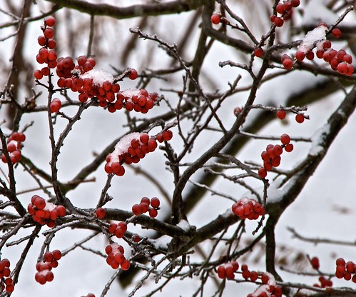 Red Winter Berries | Visual Advantage Photoblog