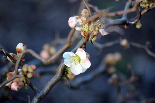 cherry blossoms: meadowlark botanical gardens, va