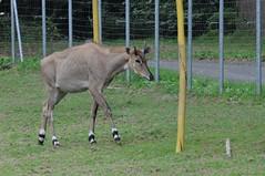 Nilgau im Zoo de Trégomeur