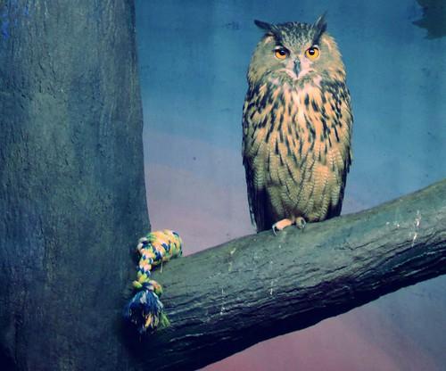 Eurasian Owl & Toy